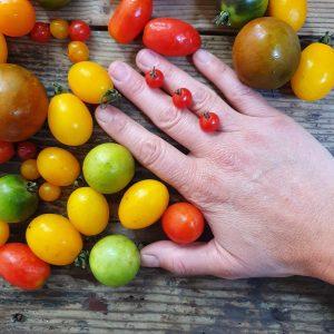 pomodori roccadiarignano
